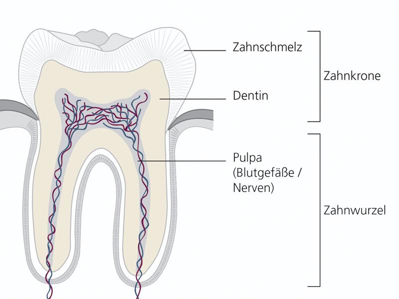 Großzügig Wölfel Zahnanatomie Bilder - Anatomie Ideen - finotti.info